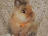 Adottiamo un coniglio nano